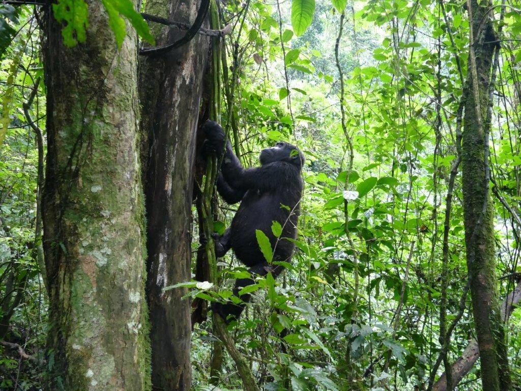 Despite their size, the gorillas made climbing look easy and graceful