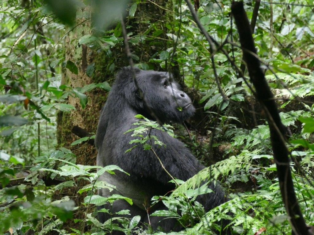The Silverback, called Kanyonyi, moving off. Kanyonyi was named after his place of birth, meaning bird. He was born in 1994